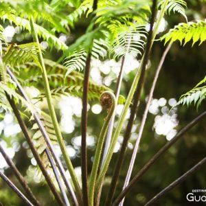 Fougère chutes du Carbet Guadeloupe