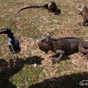 Iguane Délicatissima, la Désirade