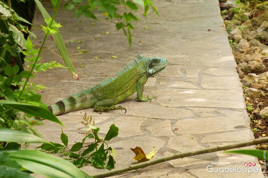 Iguane à Gosier Guadeloupe