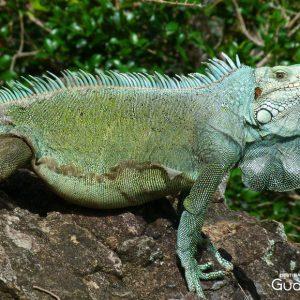 Iguane à Terre-de-Haut les Saintes, Guadeloupe