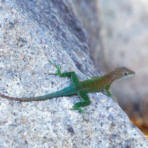 Lézard Guadeloupe jardin botanique de Deshaies