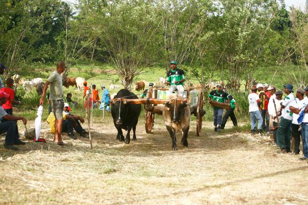 Concours de boeufs-tirants Guadeloupe