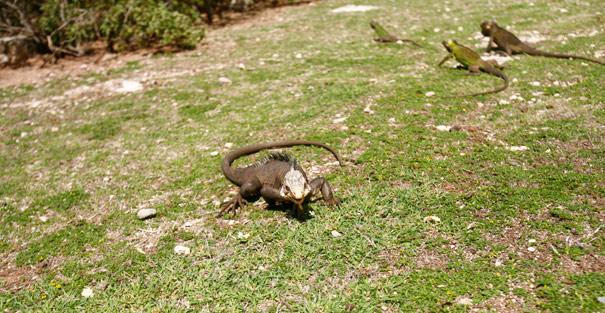 Les iguandes de la Désirade