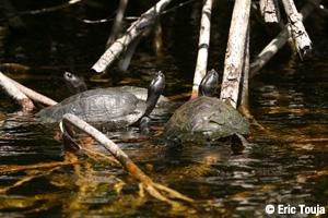 Balade dans la mangrove de Marie-Galante