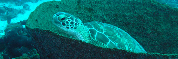 Les menaces pèsent sur les tortues marines