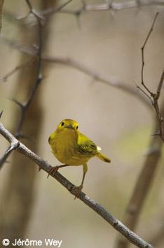 Les oiseaux de Guadeloupe