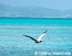 Les pélicans bruns de Guadeloupe