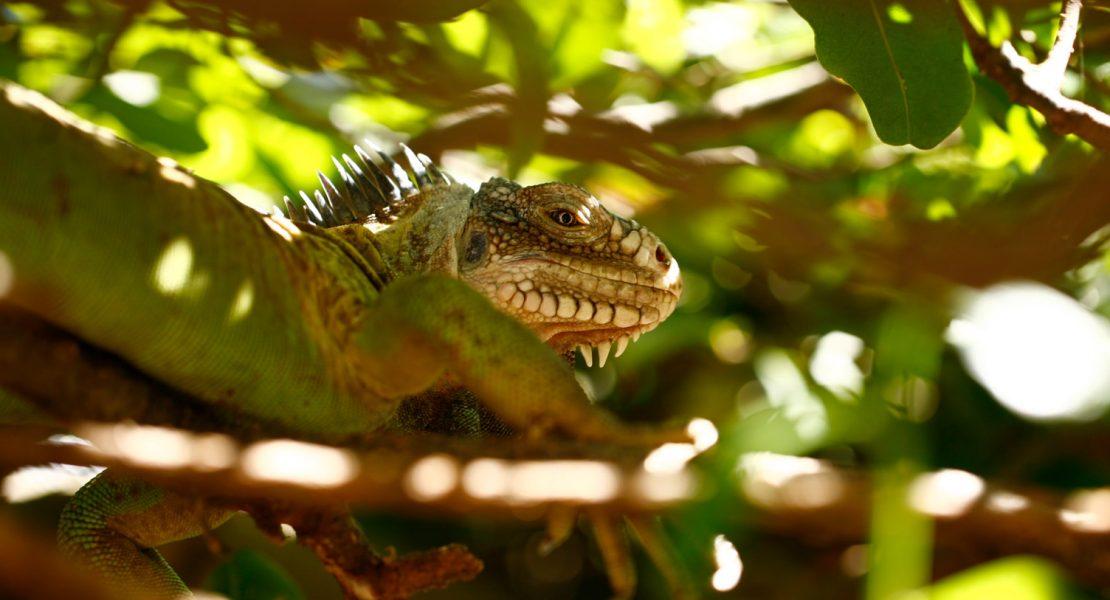 iguanes guadeloupe