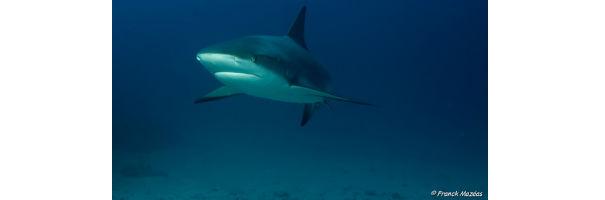 requins et raies en guadeloupe